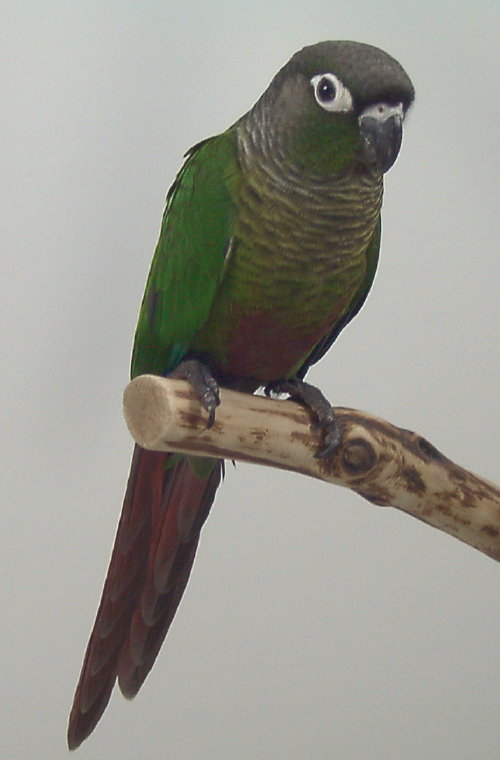 Sample image of Green Cheek Conure