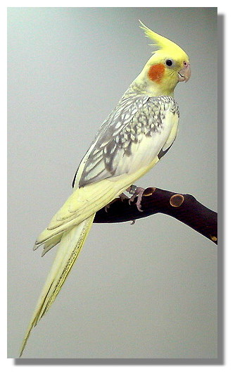 Yellow Colored Cockatiels for Sale