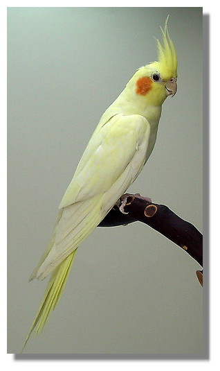 CNC Aviary - Cockatiel Pictures