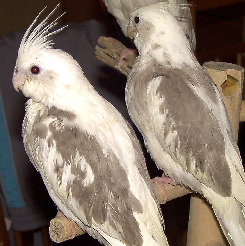 Whiteface Pearl Cockatiel Whiteface Cinnamon Coc...
