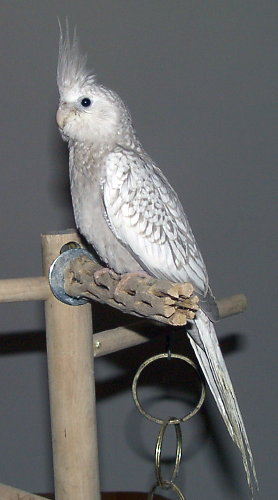 MY BIRDS PICS: Pearl Pied Whiteface Cockatiel | 278 x 500 jpeg 26kB